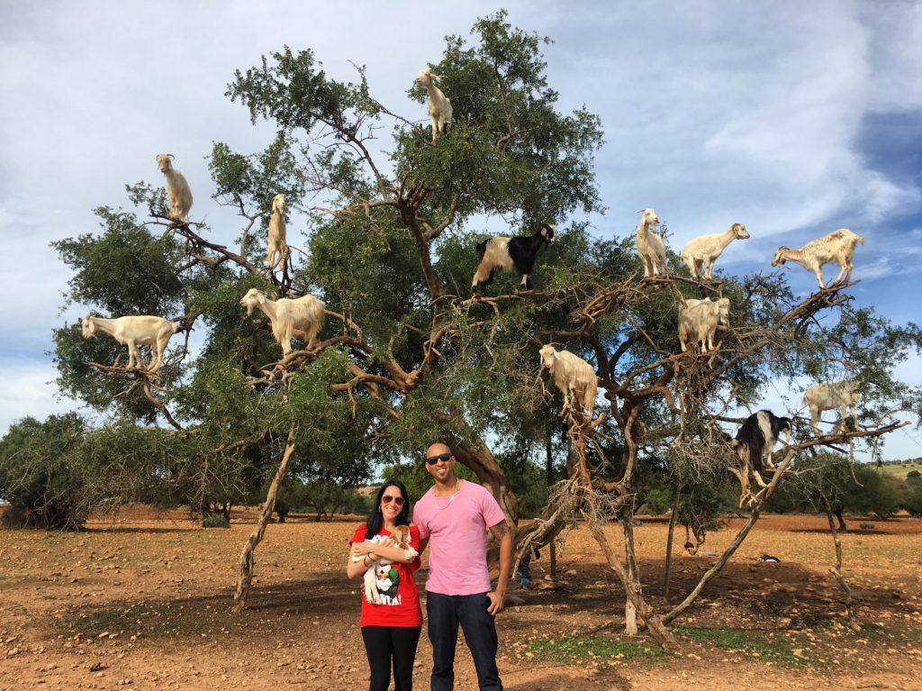 Check out the goats in trees in Morocco on your way to Essaouira from Marrakech!