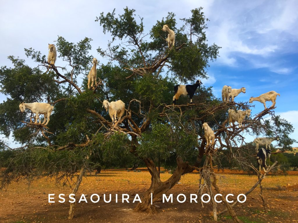 It's almost impossible to miss the goats in trees in Morocco if you take a day trip from Marrakech to Essaouira