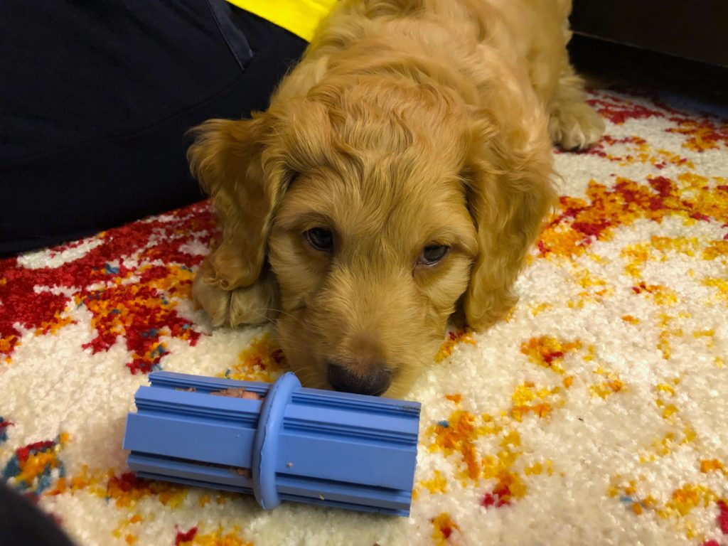 He may not look entertained in this photo, but trust us - this teething toy (kong) has to be on your puppy essentials list!
