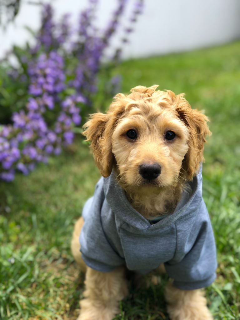 Your dog has to look cool for all the other dogs, right? Add a hoodie to your list of puppy essentials!