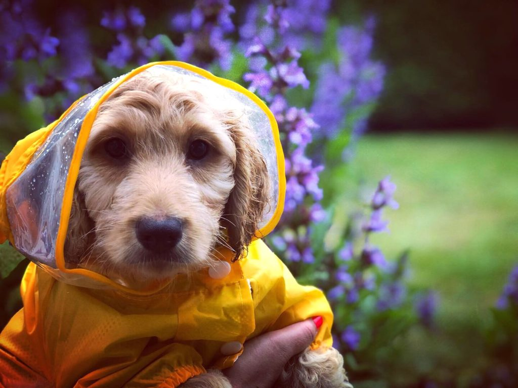 I'm not sure if this rain jacket really keeps our puppy dry, but he looks so gosh darn CUTE in it! Follow him on Instagram @lil_baxter_boy