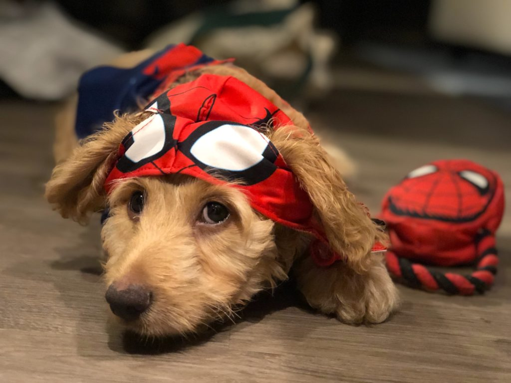 Why yes, they DO make Spiderman costumes for dogs!