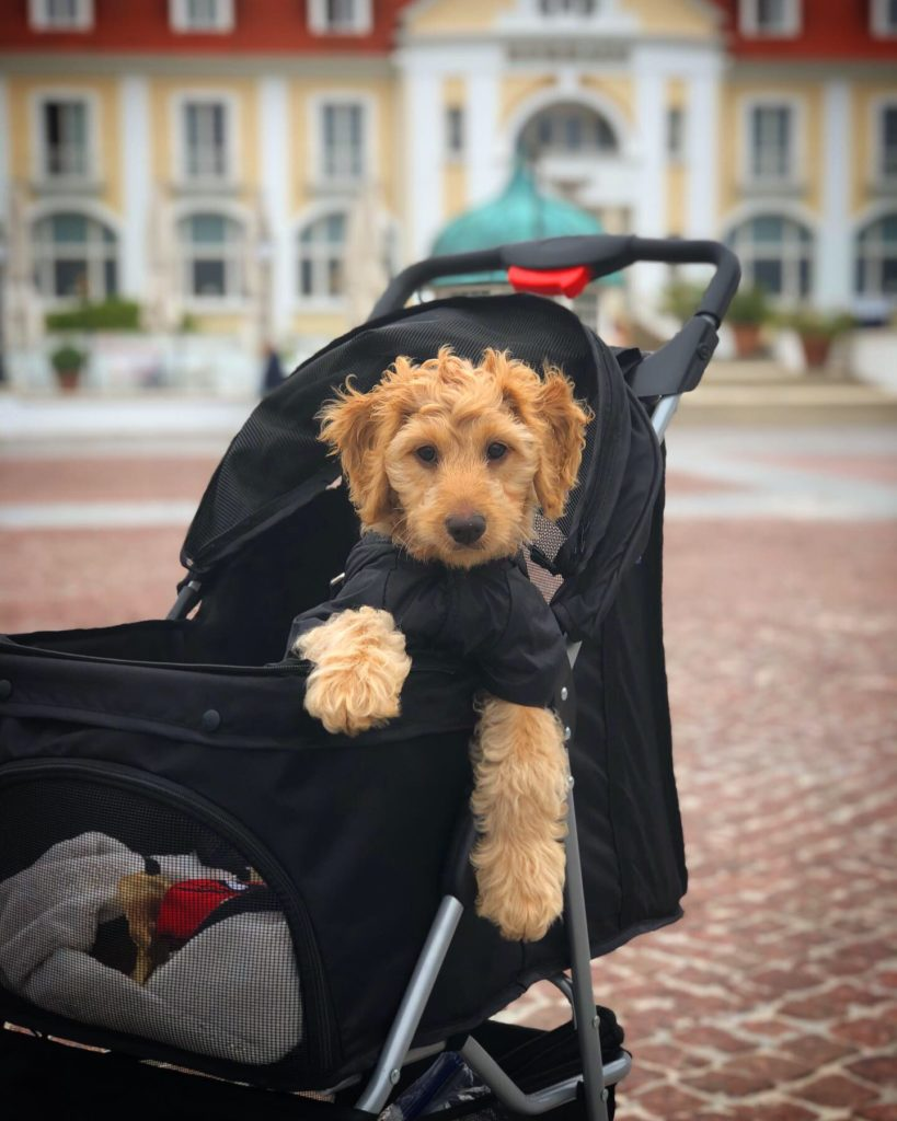 Yes, Baxter has a very plush lifestyle. But if you want to travel with your puppy, a stroller is essential! Follow him on Instagram @lil_baxter_boy